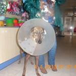 Ana, galga herida de Linares (5)