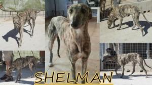 shelman