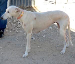 CANDELA - galgo 8 ans - Asso Levriers du Sud - fa (57) P1000181-300x256