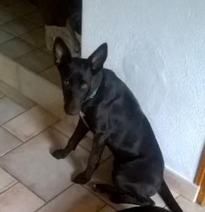 LANA - podenco noir 3 ans  - Asso Levriers du Sud - en accueil (51) WP_20150809_002-291x300